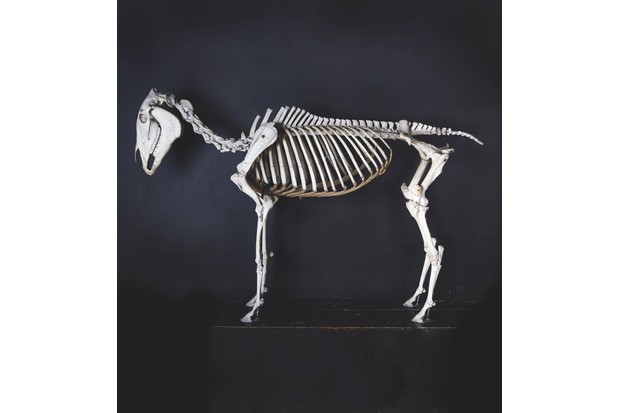 Full-size Edwardian skeleton of a horse c1910 against a navy blue background.