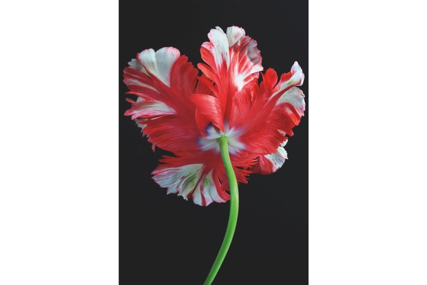 Parrot Tulip photograph by Alyson Fennell