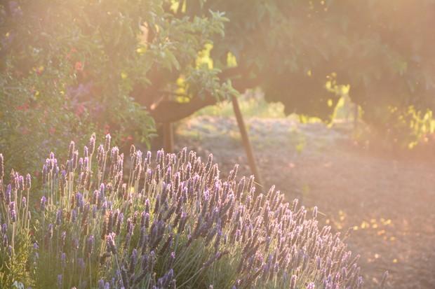Lavender bushes in Sicily