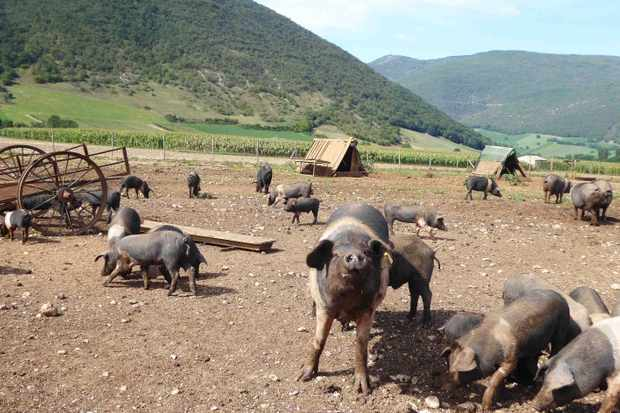 Pigs in Norcia, Umbria