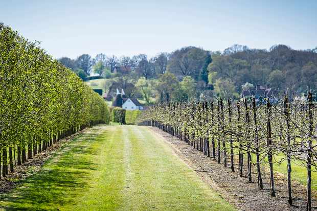 The vineyards at Hush Heath Estate and Winery, Kent