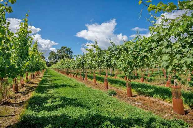 Green vines at Kingscote vineyard West Sussex