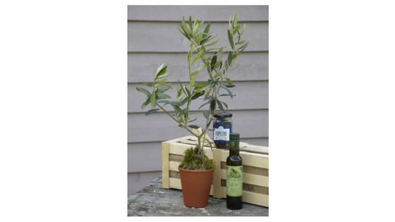Gluttonous Gardener olive tree gift