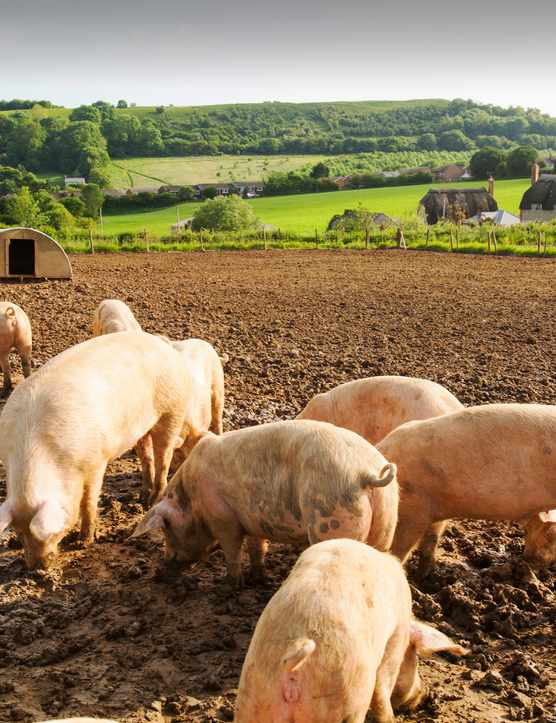 Pigs in a field (from Getty Images)
