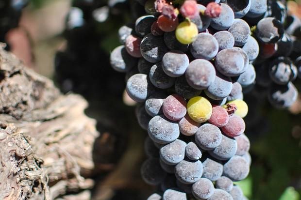 Local Wine Grapes