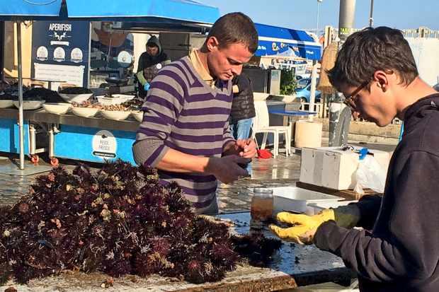 sea urchins Gallipoli