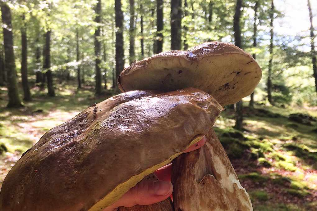 A hand holding mushrooms with trees in the background