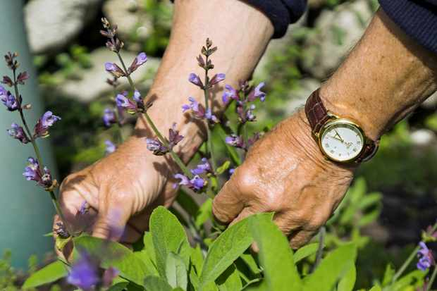 Isles of Scilly, Picking sage flowers in Polreath