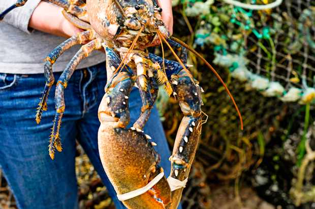 Bryher Lobster: Isles of Scilly