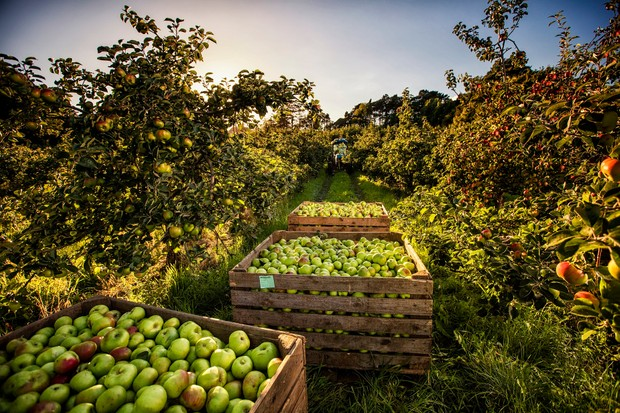 Armagh Apple Orchard