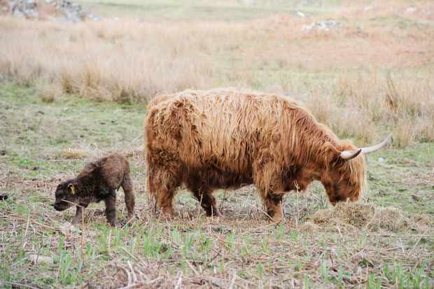 Highland cattle at Ardalanish farm