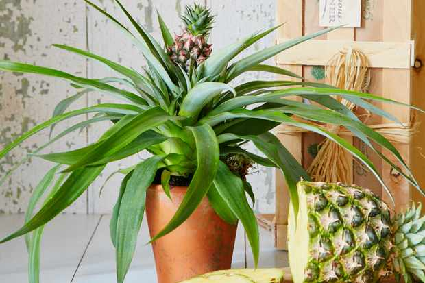 A pineapple plant with a chopped pineapple by the side