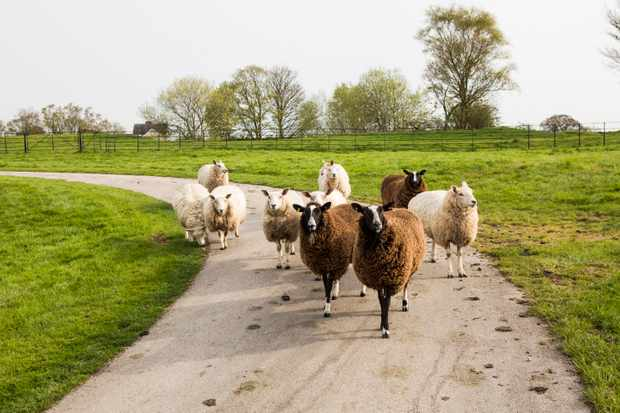 A narrow path in the middle of fields is filled with sheep