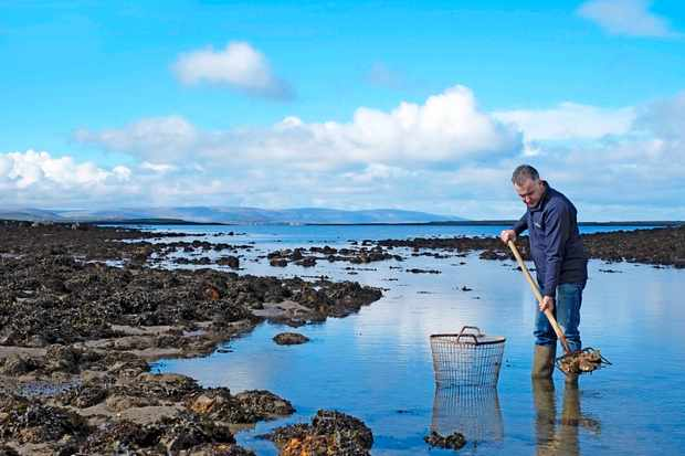 Diarmuid Kelly harvesting native oysters in Clarinbridge