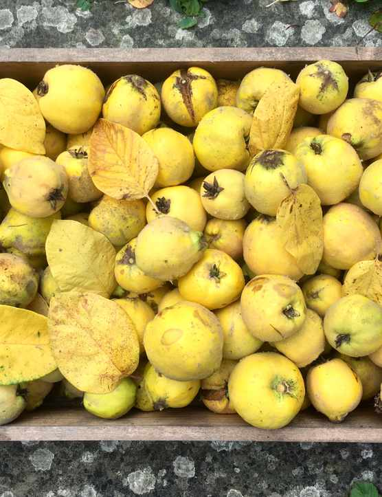 A box of homegrown quinces