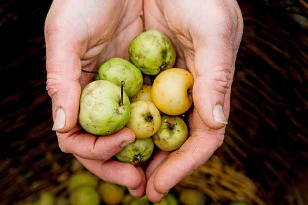A pair of hands are hovered over a basket holding foraged crab apples