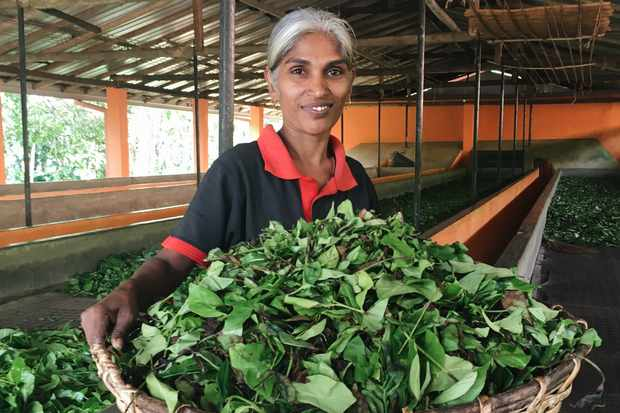 A woman named KV holds a big wicker basket filled with tea leaves