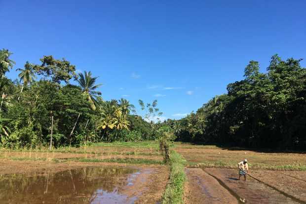 Paddy Fields in Galle, Sri Lanka
