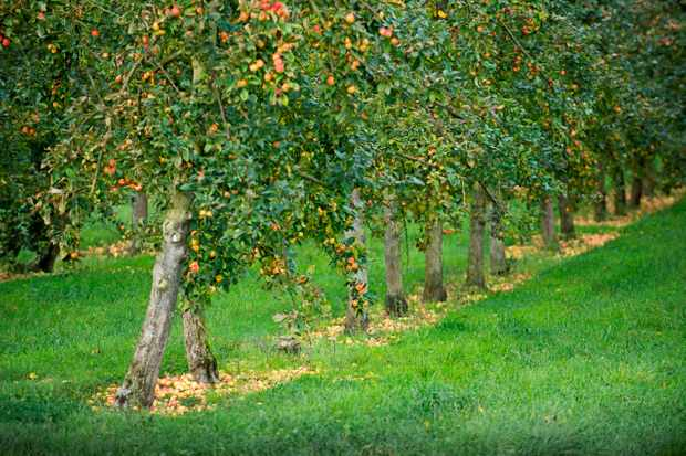 A lush green orchard is lined with fruit trees