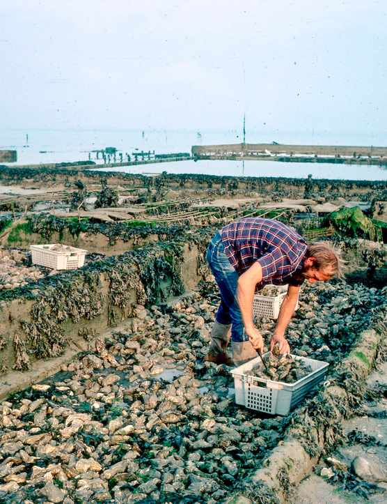 A man on an oyster farm in Normandy