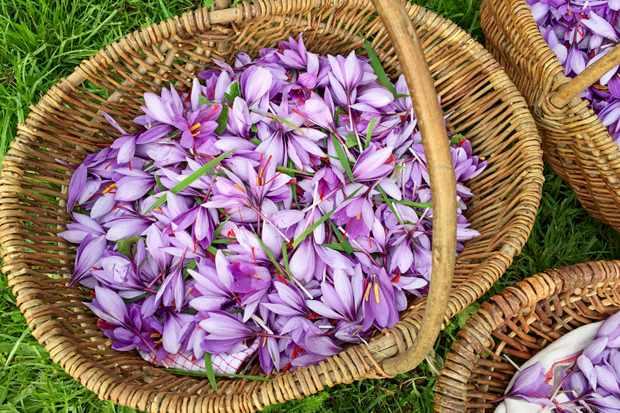 A wicker basket is filled with freshly picked purple crocus flowers