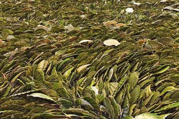A beach covered in moss-covered scallop shells