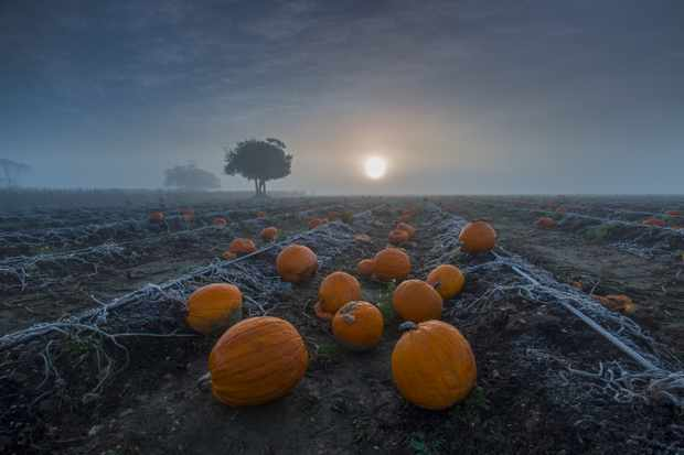On a cold autumn morning, the sun gradually appears through the mist over a pumpkin patch in the New Forest National Park, England