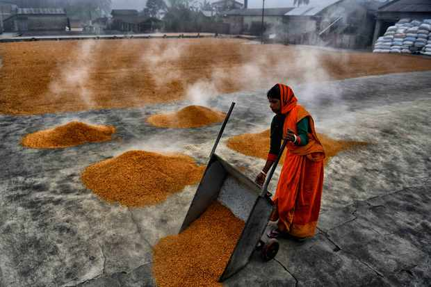 A woman is working in a rice processing field of West Bengal, India. They are working in a tough environment as extreme heat is released from the boiled rice grains being separated to dry