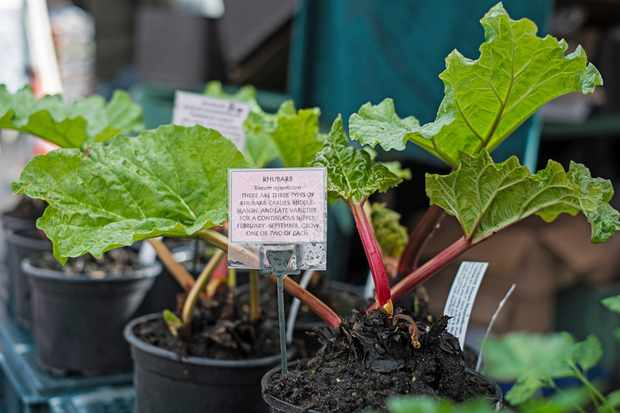 Pots with rhubarb growing in them