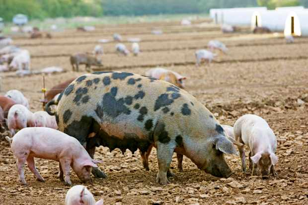 Gloucester Old Spot pig and her piglets, Gloucestershire. (Photo by Tim Graham/Getty Images)