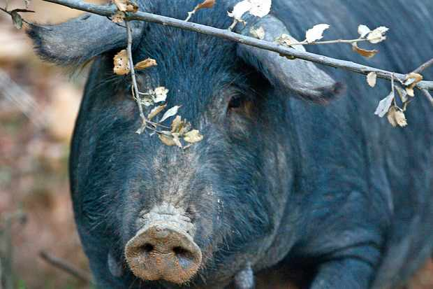 An Iberian pig stands in its enclosure at the Embutidos y Jamones Fermin farm in La Alberca (Photo credit Philippe Desmazes/Afp/Getty Images)