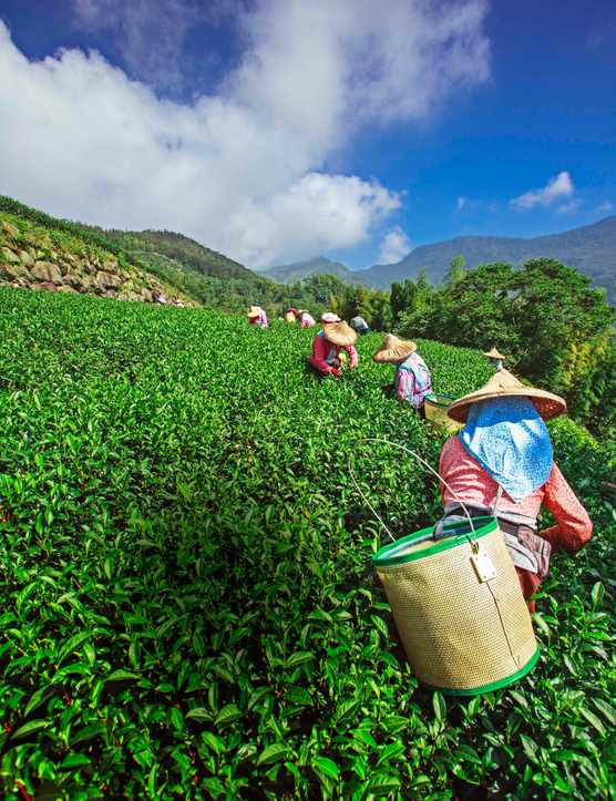 Women in a field picking tea leaves