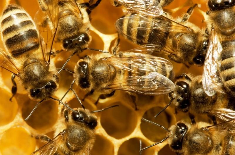 Bees_0-6a8d50e