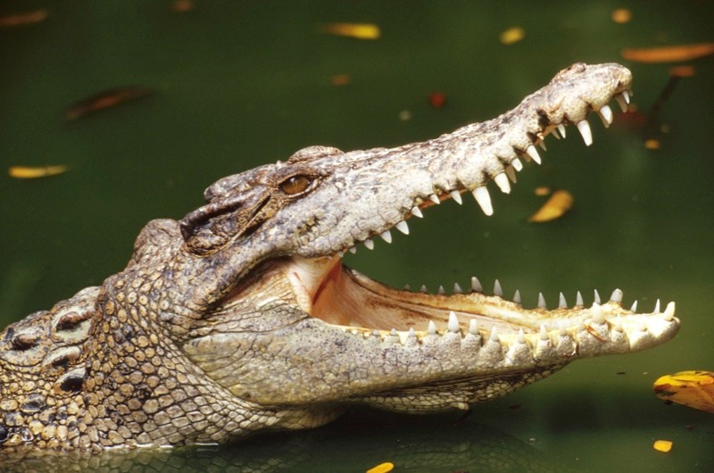 Why we say: 'crocodile tears' © Getty Images