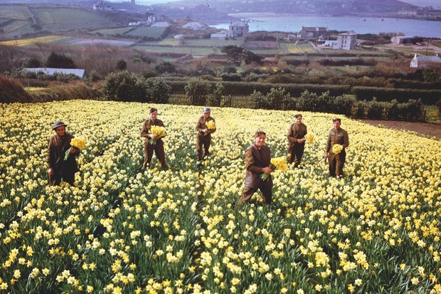 Hraverting daffodils on the Scilly Isles during World War II © Getty