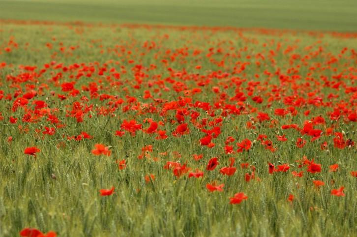 Somme poppy landscape