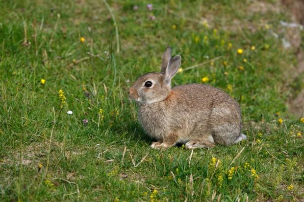 Rabbit, Oryctolagus cuniculus,