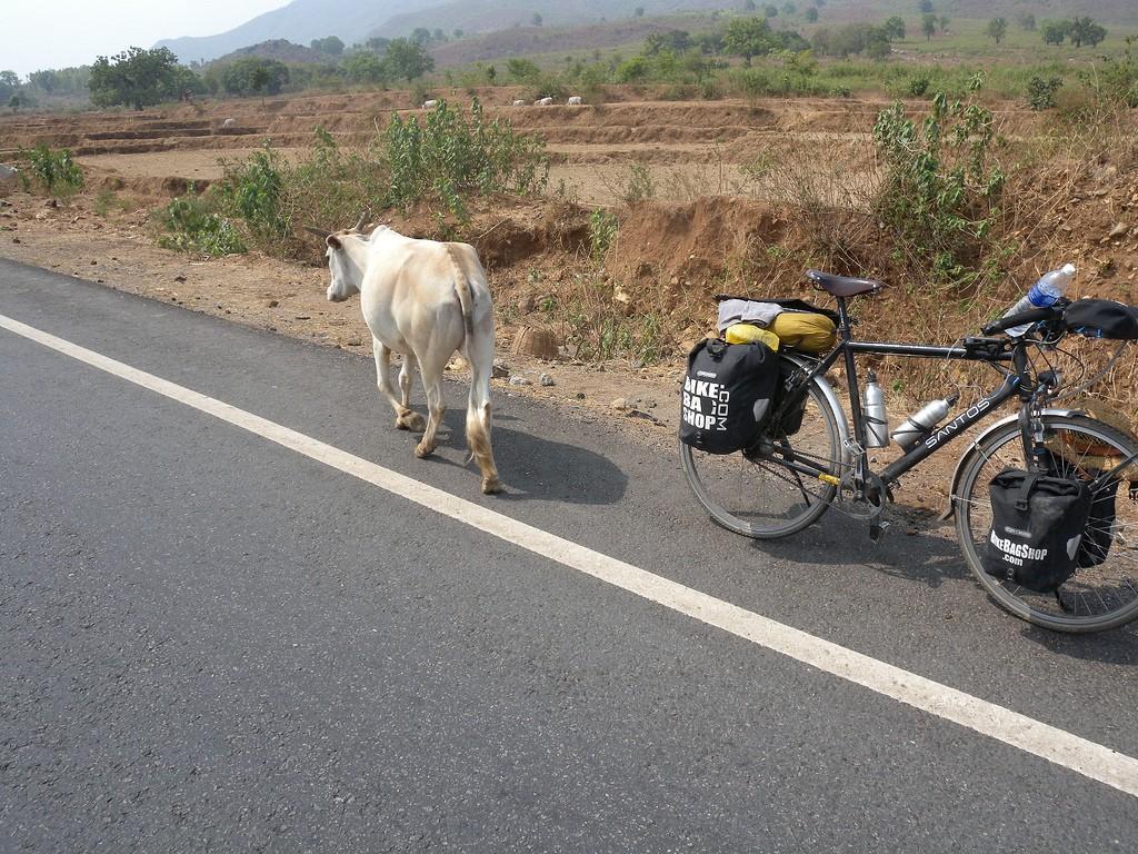 Cows for company in Sankardih, Jharkhand, India