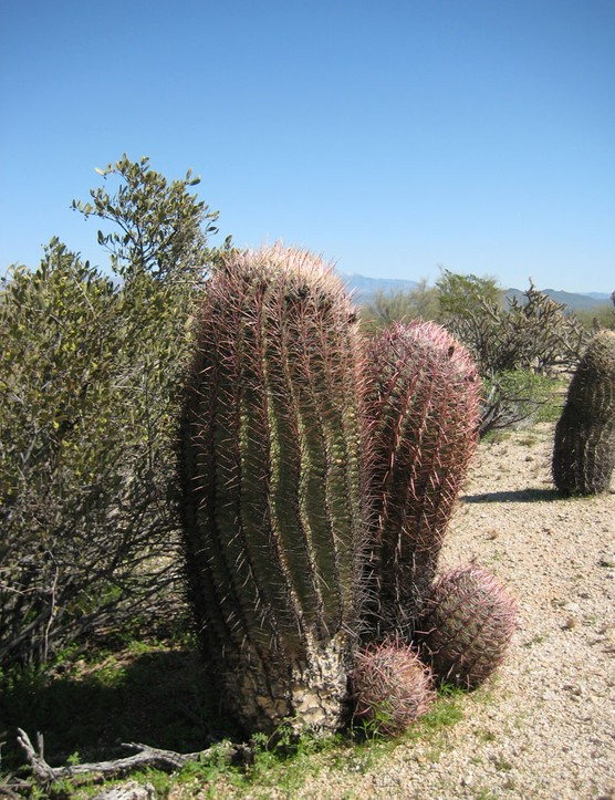 Think of R2-D2 covered in a dense array of dangerous spines and without the quirky personality and you have the barrel cactus