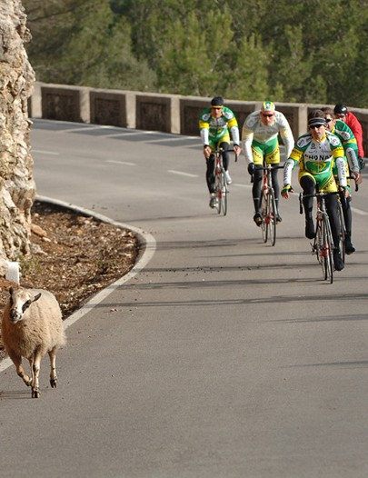Do cyclists exhibit sheep like behaviour?