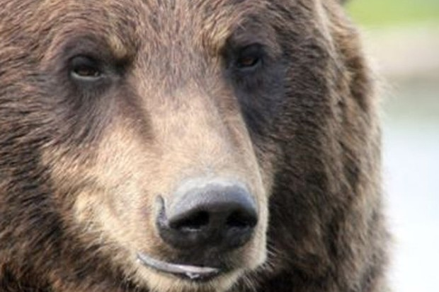 Grizzly bears were known to have been feeding near the scene of the attack
