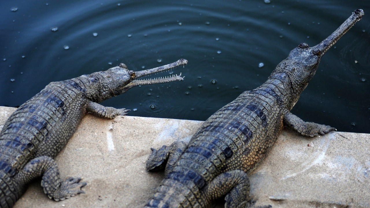 These gharial river crocodiles are critically endangered, but can still be found along the banks of the river Chambal