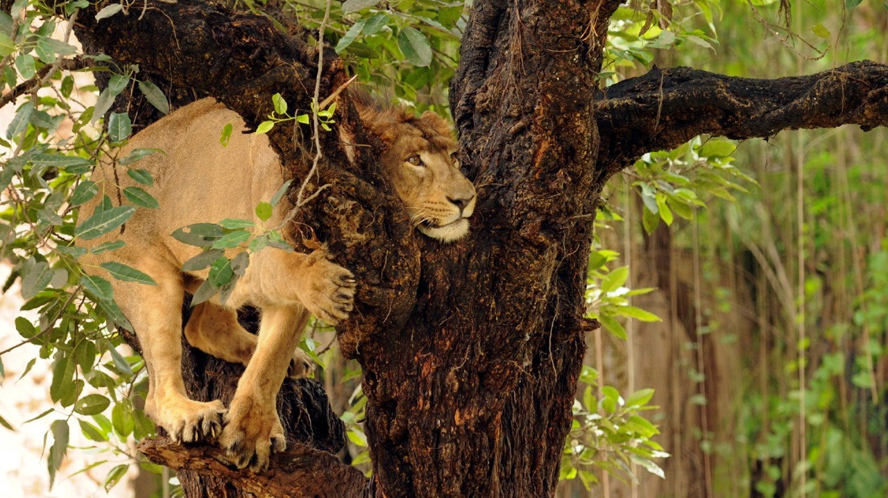 Don't get out of your vehicle at the Etawah Lion Safari