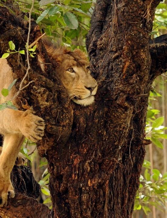 Don't get out of your vehicle at the Etawah Lion Safari