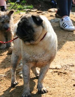 This little pug made surprisingly short work of the steep, slippy hillside