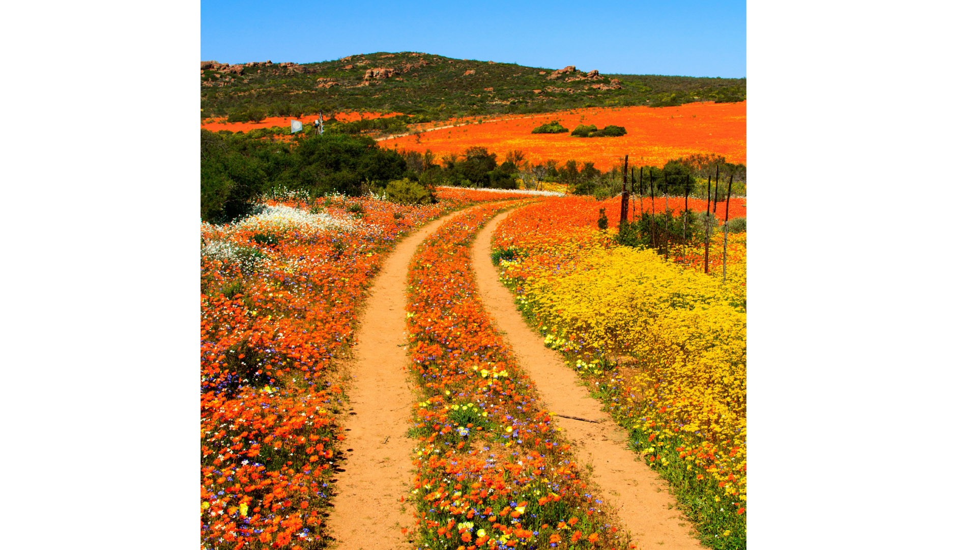 Track through the blooming flowers in Namaqualand