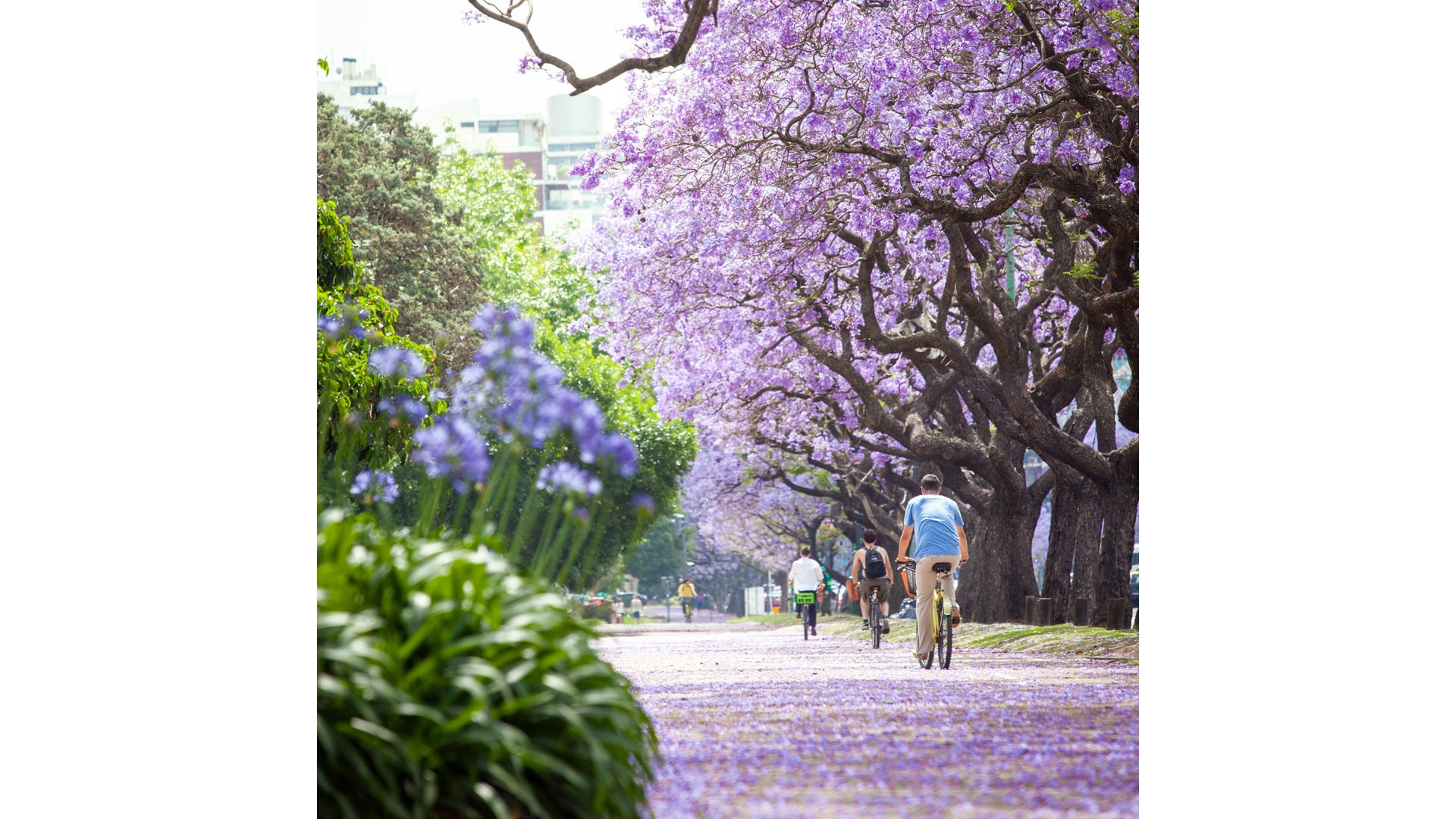An avenue of jacaranda trees in Buenos Aires