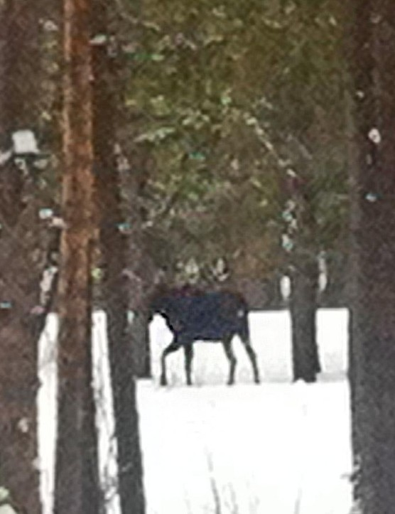 Moose spotting