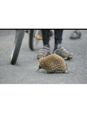 An extroverted echidna wandered right through the middle of the morning muster.
