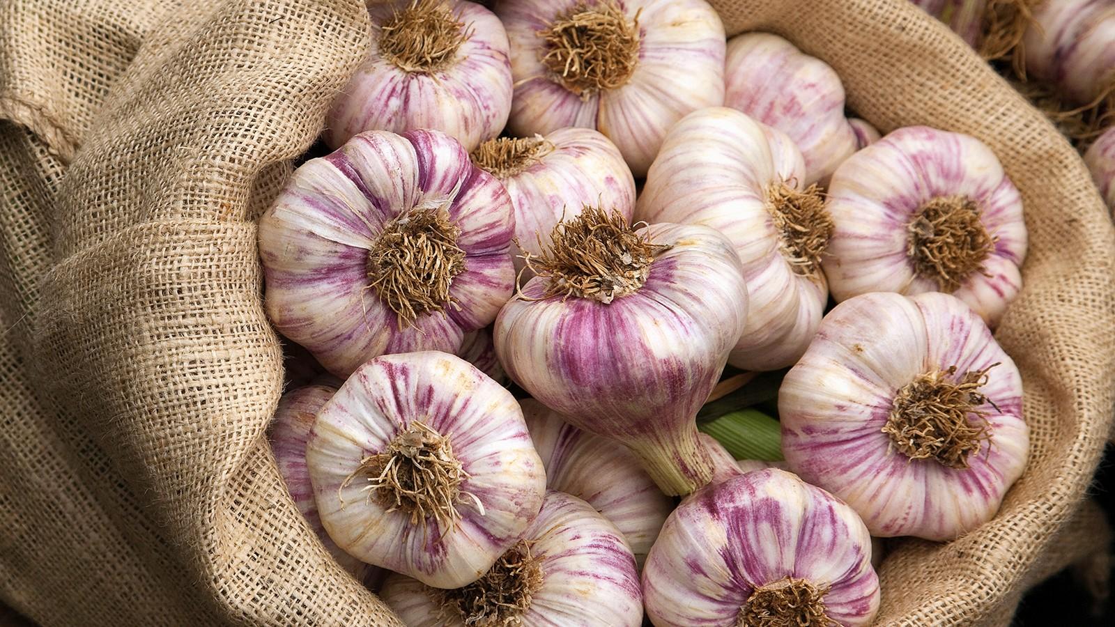 Fresh garlic (Allium sativum) Hampton Court Flower Show 2009